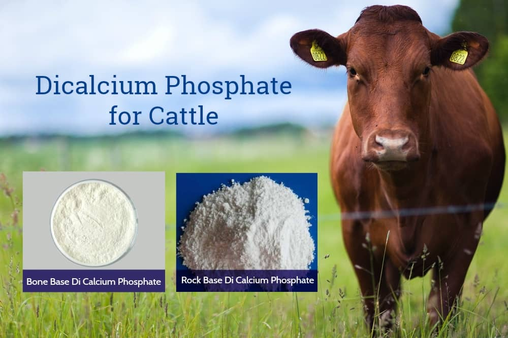 Dicalcium Phosphate for Cattle - A Perfect Supplement to Stimulate Your Cattle Growth