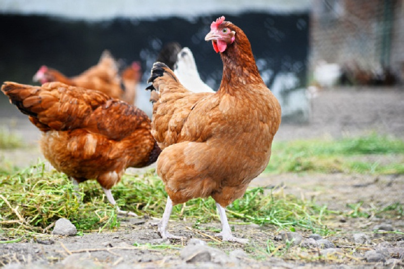 Poultry Feed Supplement – One of The Essentials for Maintaining Poultry